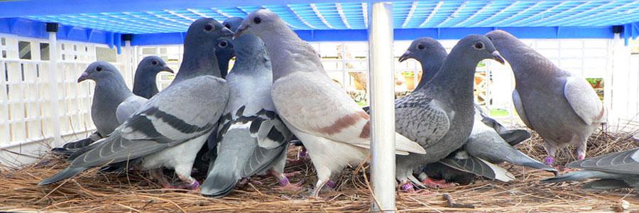 TODOPALOMAS | Racing pigeons for sale | Pigeon news | Pigeon